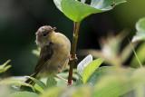 IMG_6360a Common Yellowthroat .jpg