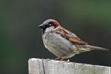 IMG_4400a House Sparrow.jpg