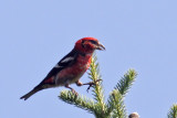 IMG_5184a White-winged Crossbill male.jpg