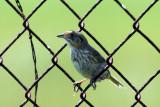 IMG_2377a Saltmarsh  Sharp-tailed Sparrow.jpg