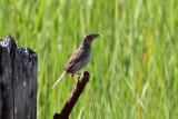 IMG_2533a Nelsons Sharp-tailed Sparrow.jpg