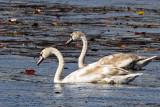 3F8A6477a Mute Swan .jpg