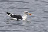 3F8A0744a Lesser Black-backed Gull .jpg