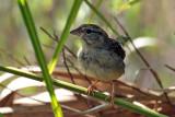 IMG_7831a Bachman's Sparrow.jpg