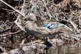 3F8A0007a Wood Duck female.jpg
