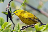 3F8A1514a Yellow Warbler male.jpg