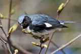3F8A9777a Black-throated Blue Warbler.jpg