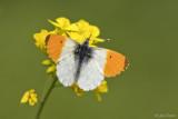 Oranjetipje/Anthocharis cardamines &#9794