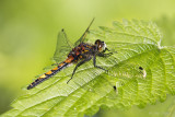 Gevlekte witsnuitlibel/Leucorrhinia pectoralis &#9794