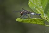 Sierlijke witsnuitlibel\Leucorrhinia caudalis &#9792