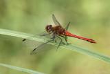 Bloedrode heidelibel/Sympetrum sanguineum &#9794