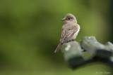 Grauwe vliegenvanger/Spotted flycatcher