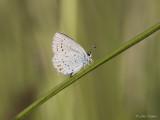 Staartblauwtje/Cupido argiades