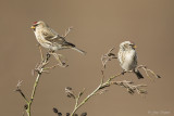 Grote barmsijs/Mealy redpoll