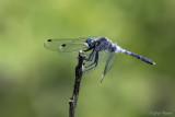 Oostelijke witsnuitlibel/Leucorrhinia albifrons &#9794