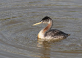 Great Grebe (Podiceps major)