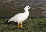 Kelp Goose (Chloephaga hybrida)