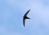 White-rumped Swift (Apus caffer) - vitgumpseglare