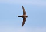 Alpine Swift (Apus melba) - alpseglare