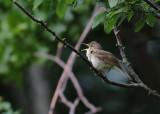 Blyth's Reed Warbler (Acrocephalus dumetorum) - busksångare