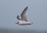 Little Gull (Hydrocoloeus minutus) - dvärgmås