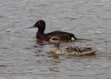 Marbled Duck (Marmaronetta angustirostris) - marmorand with Ferroginous Duck (Aythya nyroca) - vitögd dykand