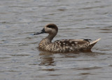 Marbled Duck (Marmaronetta angustirostris) - marmorand