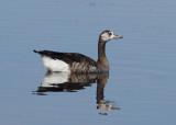 Hybrid Greylag Goose x Canada Goose Anser anser x Branta canadensis