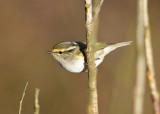 Pallas's Leaf Warbler (Phylloscopus proregulus) - kungsfågelsångare