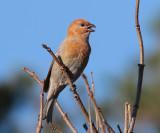 Pine Grosbeak (Pinicola enucleator) - tallbit