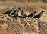 House Crow (Corvus splendens) - huskråka