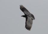 Fan-tailed Raven (Corvus rhipidurus)