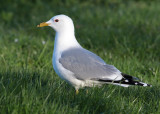 Common Gull (Larus c. canus) - fiskmås