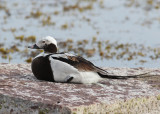 Long-tailed Duck (Clangula hyemalis) - alfågel