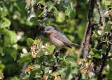 Moltoni's Warbler (Sylvia subalpina) - Moltonisångare