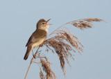 Marsh Warbler (Acrocephalus palustris) - kärrsångare
