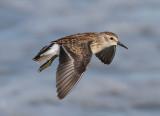North American Shorebirds