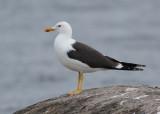 Swedish Gulls