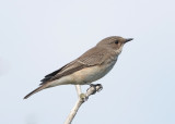 Spotted Flycatcher (Muscicapa striata) - grå flugsnappare