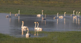 Swans - Geese and ducks