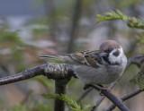 Danish Sparrows