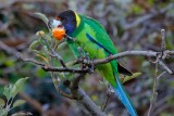 Australian Birds.