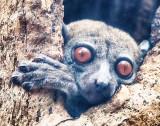 Sportive Lemur (Lepilemuridae)