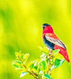 Red Bishop - Weaver