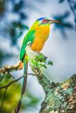 Amazonian Motmot (Momotus momota)