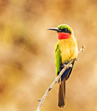 Red Throated Bee Eater (Merops bulocki)