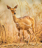 Harnessed Bushbuck or Kéwel (Tragelaphus scriptus)  - Female