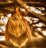 Yellow Winged Bat (Lavia frons)