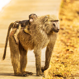 Olive baboon (Papio anubis), aka Anubis baboon