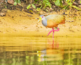 Grey-necked Wood Rail or Grey-cowled Wood Rail (Aramides cajaneus)
